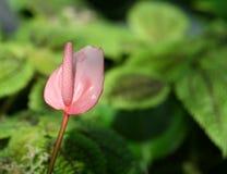 Ρόδινο Anthurium λουλούδι Στοκ Εικόνες