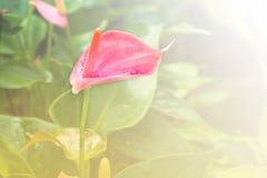Ρόδινο Anthurium λουλούδι Στοκ εικόνα με δικαίωμα ελεύθερης χρήσης