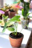 Ρόδινο Anthurium λουλούδι Στοκ Φωτογραφίες