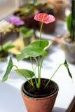 Ρόδινο Anthurium λουλούδι Στοκ φωτογραφία με δικαίωμα ελεύθερης χρήσης