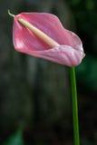 Ρόδινο Anthurium Στοκ Εικόνες
