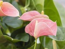 Ρόδινο Anthurium Στοκ εικόνες με δικαίωμα ελεύθερης χρήσης