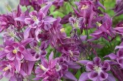 Ρόδινο aquilegia λουλουδιών Στοκ εικόνες με δικαίωμα ελεύθερης χρήσης