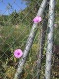 Ρόδινο Bindweed λουλούδι Στοκ Φωτογραφία