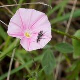 Ρόδινο bindweed τομέων άγριο λουλούδι με το έντομο, ζωύφιο Στοκ Φωτογραφία