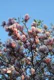 Ρόδινο blossomtree Στοκ φωτογραφία με δικαίωμα ελεύθερης χρήσης