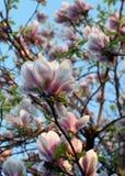 Ρόδινο blossomtree Στοκ Εικόνες
