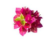 Ρόδινο Bougainvillea (λουλούδι εγγράφου) που απομονώνεται με το ψαλίδισμα της πορείας Στοκ Εικόνες