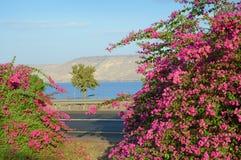 Ρόδινο bougainvillea στην ακτή Kineret, λίμνη Στοκ Φωτογραφίες