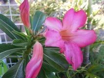 Ρόδινο chaba λουλουδιών Στοκ Εικόνα