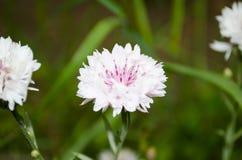 Ρόδινο cornflower στον κήπο Στοκ φωτογραφίες με δικαίωμα ελεύθερης χρήσης