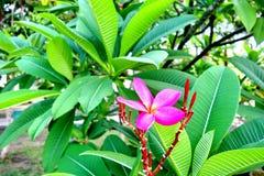 Ρόδινο frangipani ή Plumeria Στοκ Φωτογραφία
