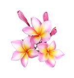 Ρόδινο frangipani, λουλούδι plumeria στο λευκό Στοκ Φωτογραφίες