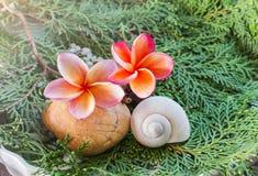Ρόδινο frangrant plumeria ή frangipani λουλουδιών με το κοχύλι Στοκ φωτογραφίες με δικαίωμα ελεύθερης χρήσης