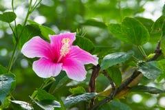 Ρόδινο hibiscus λουλούδι Στοκ εικόνα με δικαίωμα ελεύθερης χρήσης