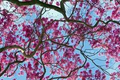 Ρόδινο ipe, avellanedae Tabebuia ή impetiginosus Handroanthus Στοκ φωτογραφία με δικαίωμα ελεύθερης χρήσης