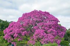 Ρόδινο ipe, avellanedae Tabebuia ή impetiginosus Handroanthus Στοκ Φωτογραφία