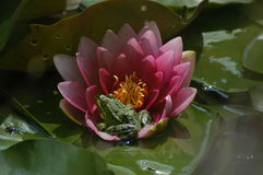 Ρόδινο lilie στοκ εικόνες