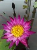 Ρόδινο Lotus άνθισης στο νερό Στοκ φωτογραφίες με δικαίωμα ελεύθερης χρήσης