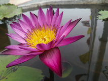 Ρόδινο Lotus άνθισης στο νερό στοκ εικόνες με δικαίωμα ελεύθερης χρήσης