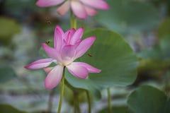 Ρόδινο Lotus ή waterlily άνθος και φύλλα στη λίμνη Στοκ εικόνες με δικαίωμα ελεύθερης χρήσης