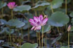 Ρόδινο Lotus ή waterlily άνθος και φύλλα στη λίμνη Στοκ Εικόνες