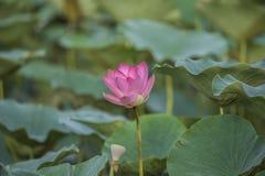 Ρόδινο Lotus ή waterlily άνθος και φύλλα στη λίμνη Στοκ Φωτογραφίες