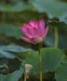 Ρόδινο Lotus ή waterlily άνθος και φύλλα στη λίμνη Στοκ Φωτογραφία