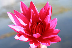 Ρόδινο Lotus σε μια λίμνη Στοκ Φωτογραφίες