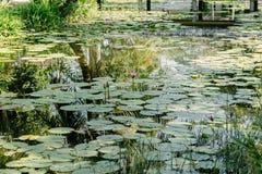 Ρόδινο Lotus στη λίμνη λωτού σε μια ηλιόλουστη ημέρα Στοκ Εικόνες