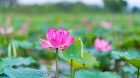 Ρόδινο Lotus του Βιετνάμ Στοκ Φωτογραφίες