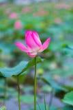 Ρόδινο Lotus του Βιετνάμ Στοκ Εικόνες