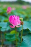 Ρόδινο Lotus του Βιετνάμ Στοκ Φωτογραφία