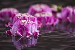Ρόδινο Lotus Στοκ Εικόνα