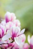Ρόδινο magnolia λουλουδιών στοκ φωτογραφίες με δικαίωμα ελεύθερης χρήσης