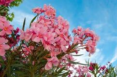 Ρόδινο oleander Στοκ εικόνα με δικαίωμα ελεύθερης χρήσης
