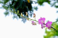 Ρόδινο Orchid στοκ εικόνα