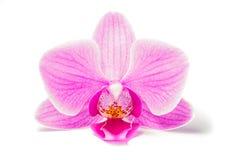 Ρόδινο Orchid Στοκ φωτογραφίες με δικαίωμα ελεύθερης χρήσης