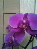Ρόδινο Orchid στοκ εικόνες