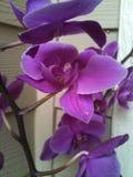 Ρόδινο Orchid Στοκ εικόνες με δικαίωμα ελεύθερης χρήσης
