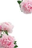 Ρόδινο peony λουλούδι στο άσπρο υπόβαθρο με το διάστημα αντιγράφων για το μήνυμα χαιρετισμού Στοκ φωτογραφίες με δικαίωμα ελεύθερης χρήσης