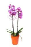 Ρόδινο phalaenopsis ορχιδεών flowerpot Στοκ Φωτογραφίες