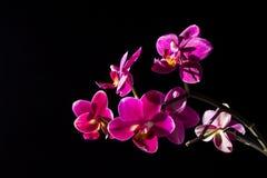 Ρόδινο Phalaenopsis Στοκ Φωτογραφίες