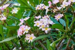 Ρόδινο plumeria ή frangipani λουλουδιών στο δέντρο Στοκ εικόνα με δικαίωμα ελεύθερης χρήσης
