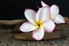 Ρόδινο plumeria ή frangipani λουλουδιών στο νερό και το βράχο χαλικιών Στοκ φωτογραφία με δικαίωμα ελεύθερης χρήσης