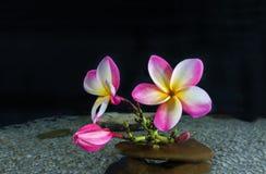 Ρόδινο plumeria ή frangipani λουλουδιών στο χαλίκι και νερό στο Μαύρο Στοκ Φωτογραφία