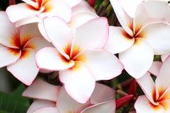 Ρόδινο Plumeria ανθίζει όμορφο Στοκ Φωτογραφίες