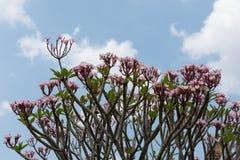 Ρόδινο Plumeria με το μπλε ουρανό στο υπόβαθρο, λουλούδια Frangipani Στοκ Φωτογραφίες