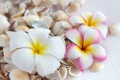 ρόδινο plumeria λουλουδιών Στοκ φωτογραφίες με δικαίωμα ελεύθερης χρήσης