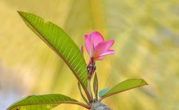 ρόδινο plumeria λουλουδιών Στοκ Φωτογραφία